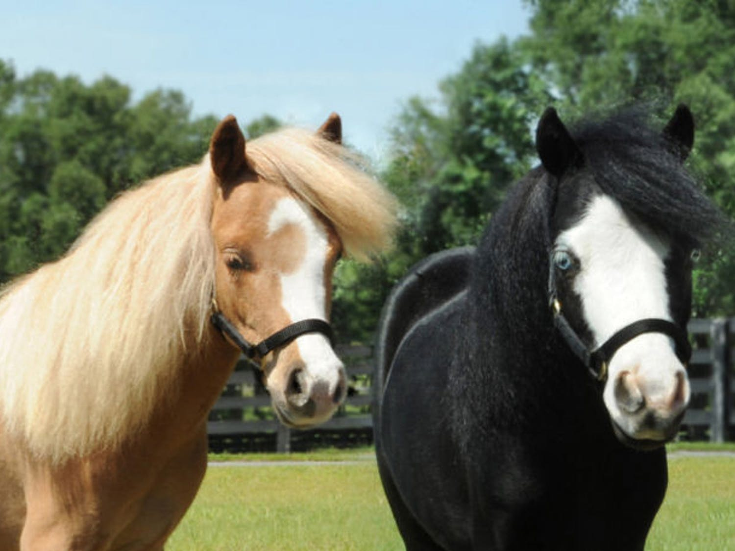 Hamlet, left, and Magic have been honored as Breyer model horses for 2014. Both horses work at UF Health Shands Rehab Hospital. They appeared at the UF College of Veterinary Medicine Open House on Saturday.