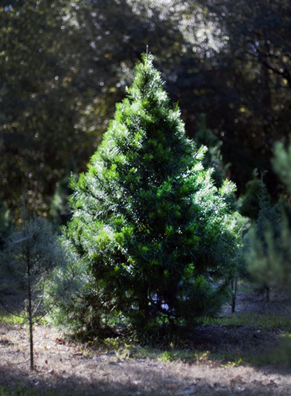 <p>The U.S. Department of Agriculture decided it would delay implementing a 15-cent fee on fresh Christmas trees sold on farms that sell more than 500 trees a year.</p>