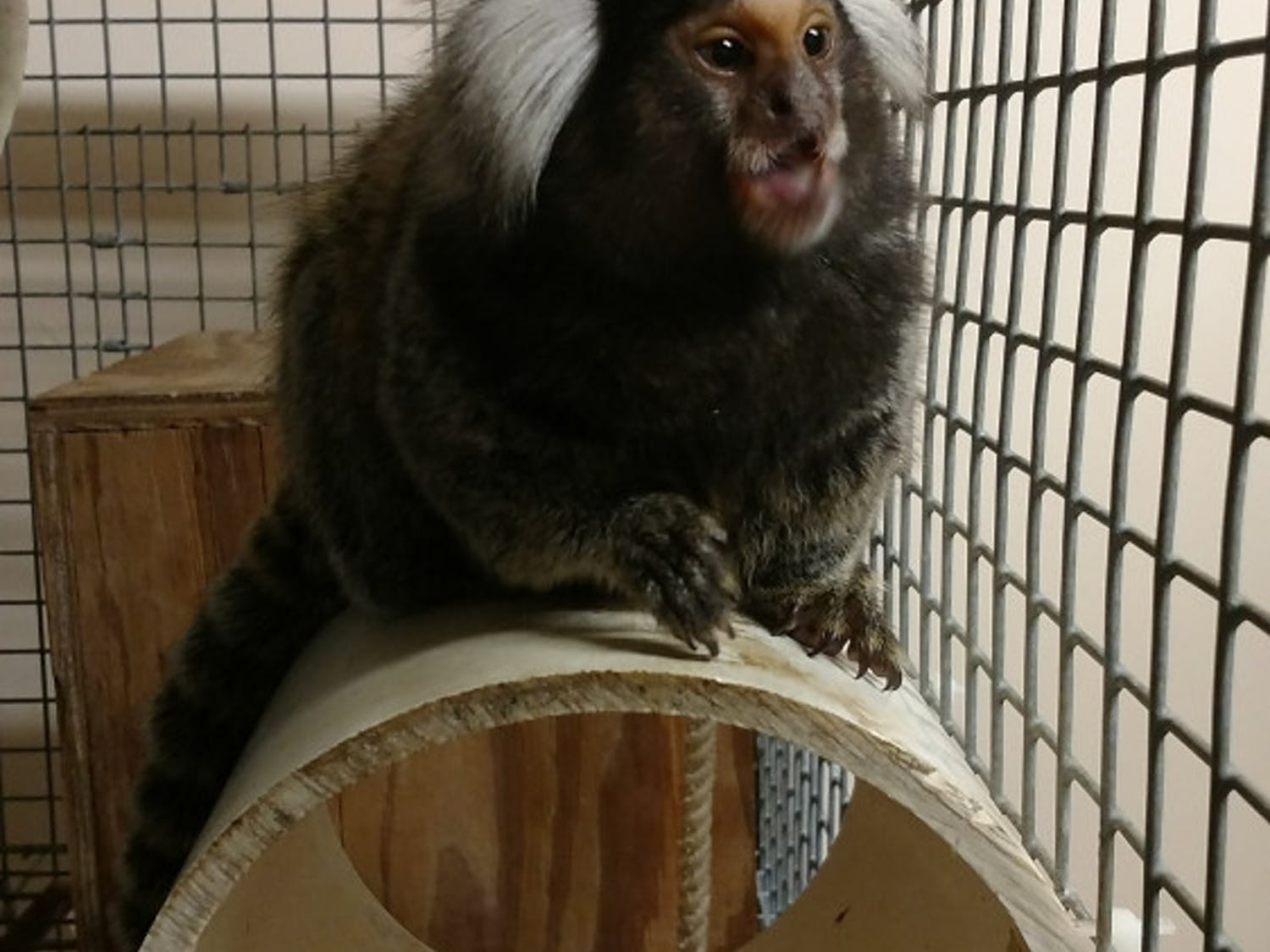 Leiah, 4, arrived at her new home at the Jungle Friends Primate Sanctuary in Gainesville onSaturday. Common marmosets in captivity usually live to be about 11 or 12 years old.