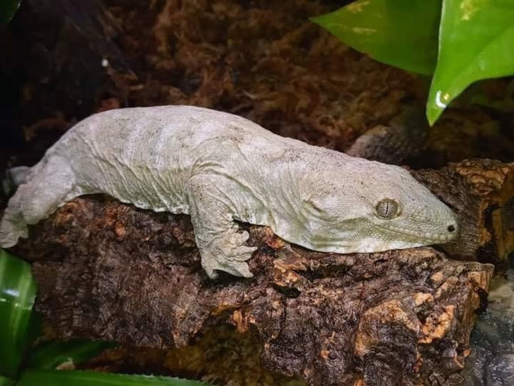 "Photo of the missing Leachianus ""Leachie"" gecko. [Photo courtesy of Mike Southwick]"