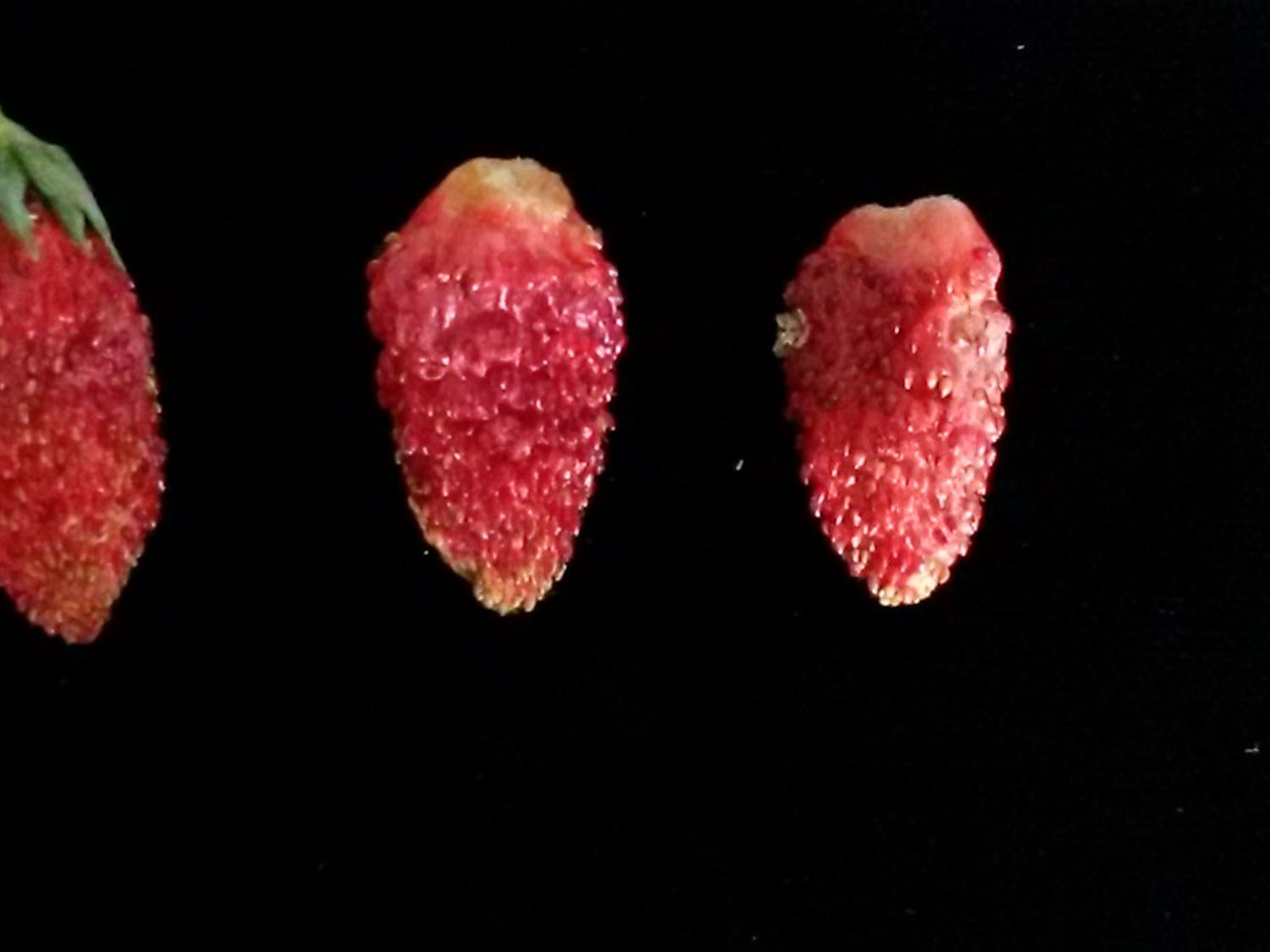 Alpine strawberries are tiny, soft and tasty. A UF researcher discovered a species that can grow in South Florida.