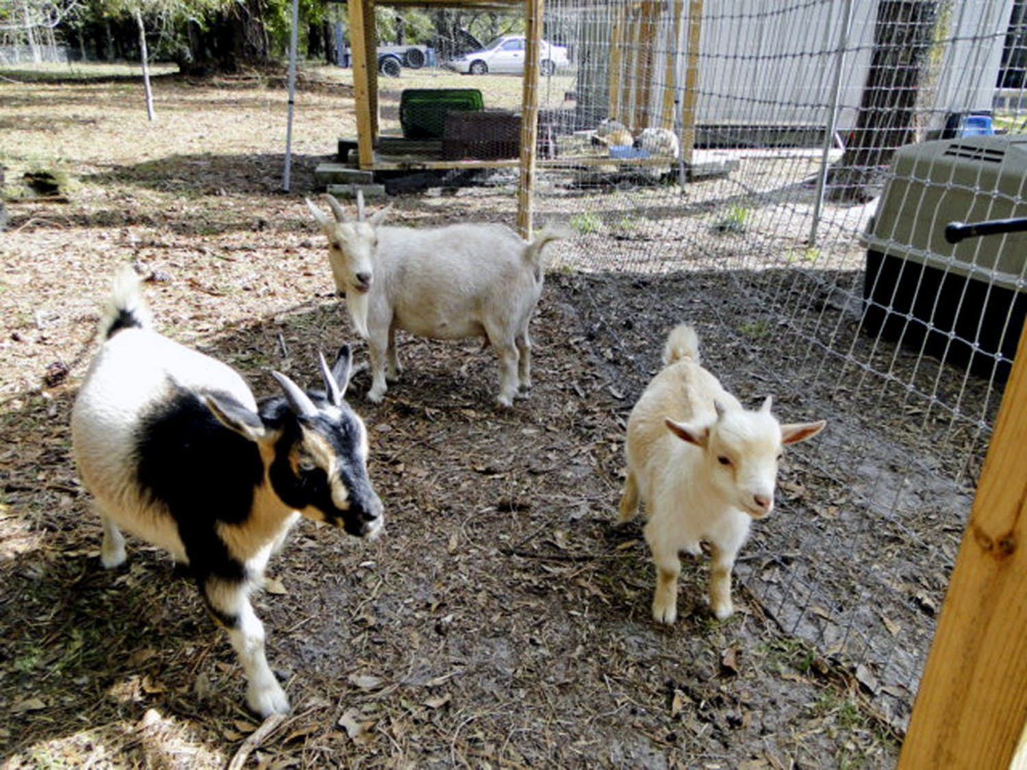 From right: Salt the goat enjoys the day alongside Hobbit, his mother, and Mittens, his half-sibling.