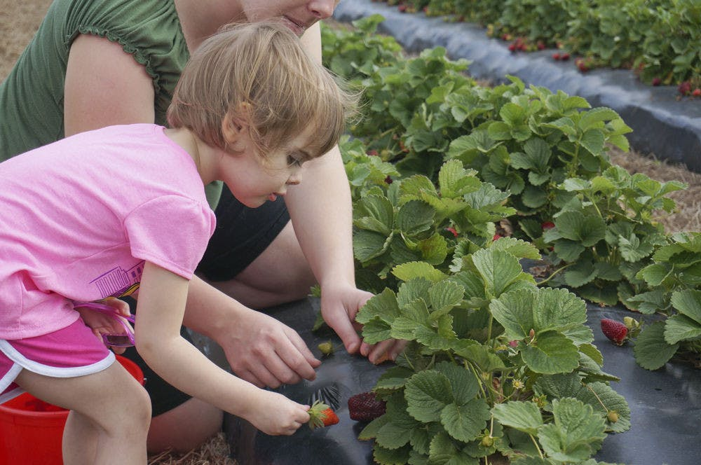 <p>Abby Kirksy, 2, picks strawberries for the first time with her mother, Melissa Kirksy, on Brown's Farm in Hawthorne on Wednesday. Kirsky, from Starke, said it was their first time on the farm.</p>