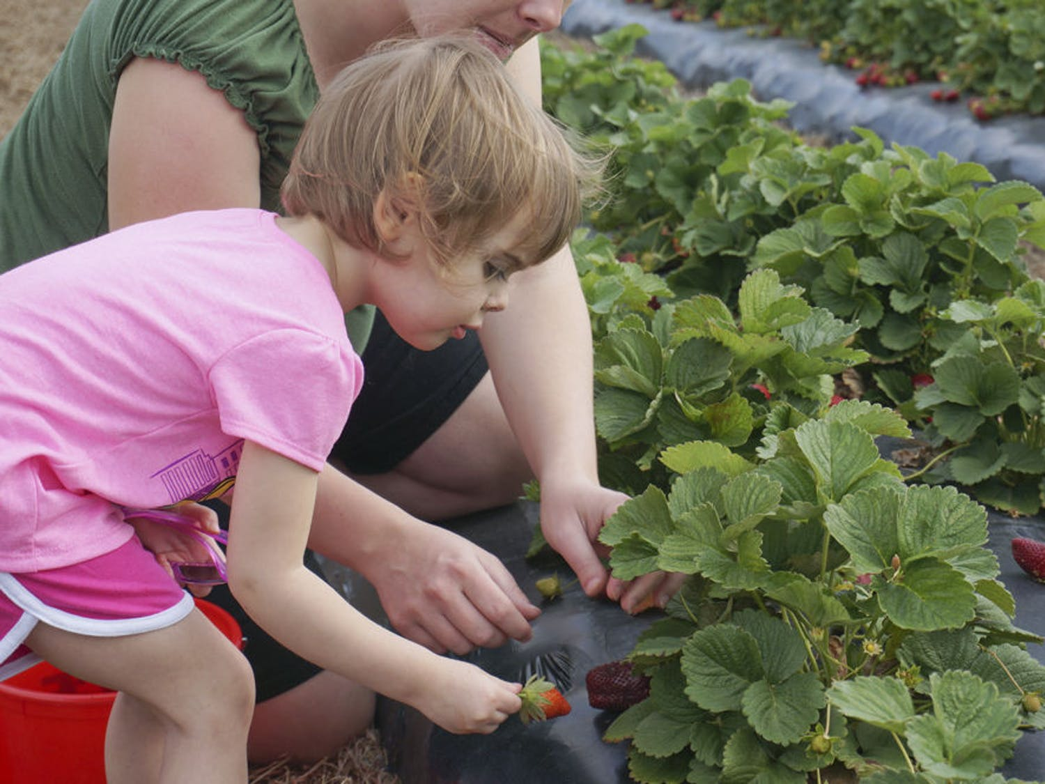 Abby Kirksy, 2, picks strawberries for the first time with her mother, Melissa Kirksy, on Brown's Farm in Hawthorne on Wednesday. Kirsky, from Starke, said it was their first time on the farm.