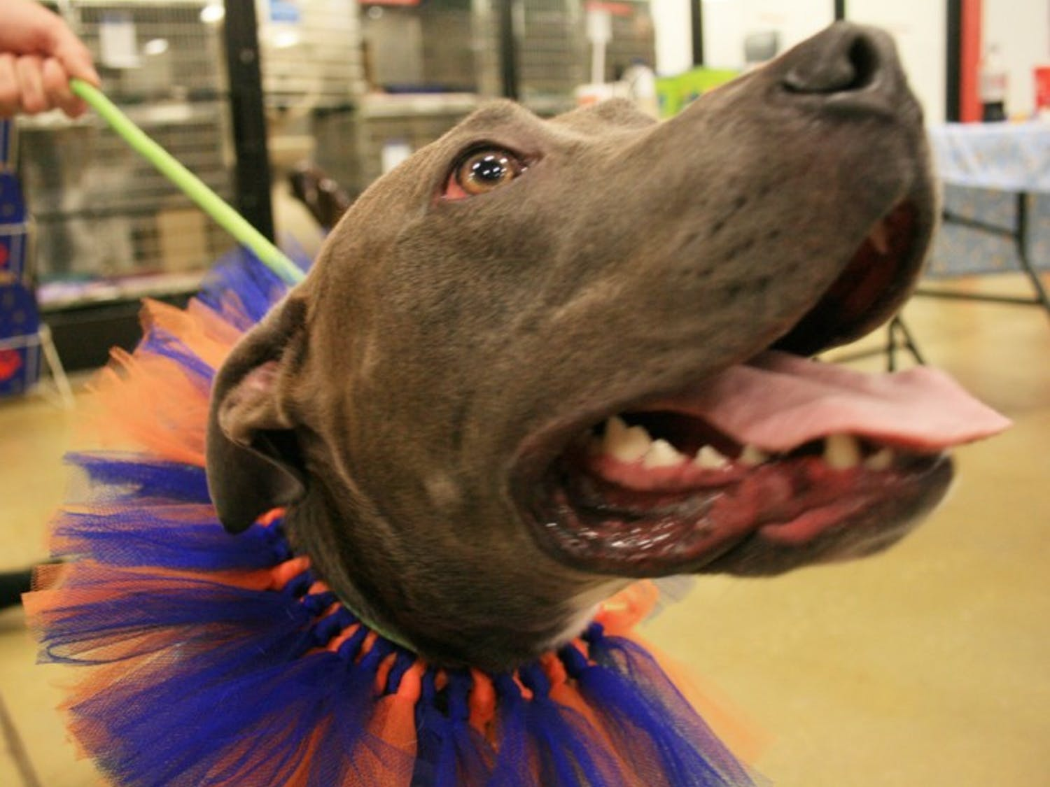 Sadie, a 2-year-old pit bull, salivates as people walk past cages of animals up for adoption at PetSmart Saturday.