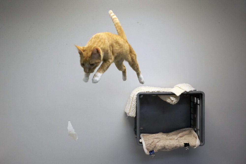 <p>Callie, a 4-year-old cat, leaps from atop a crate at the Alachua County Humane Society.</p>