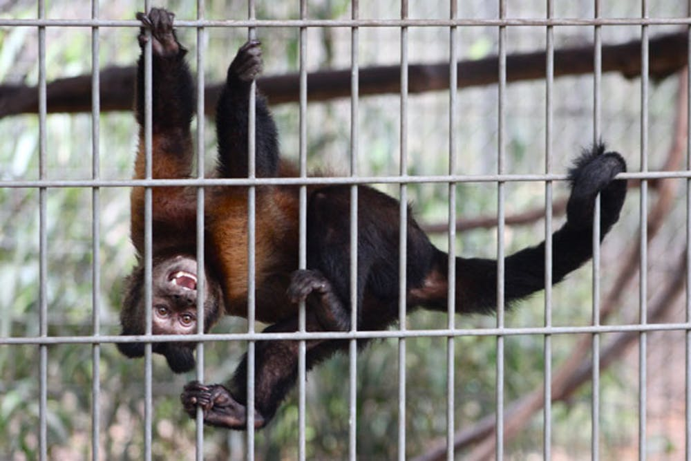 <p>A brown capuchin monkey hangs from its cage at Jungle Friends Primate Sanctuary.</p>