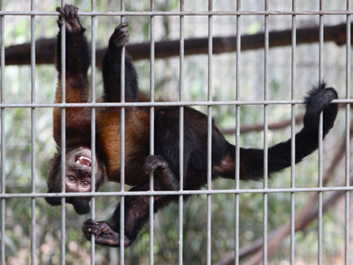 A brown capuchin monkey hangs from its cage at Jungle Friends Primate Sanctuary.