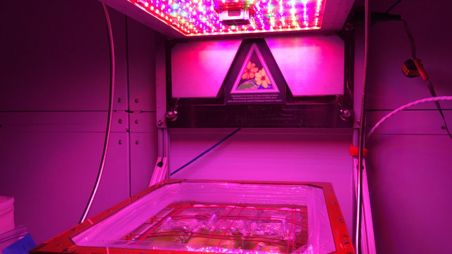 Bags of algae grow under LED lights. They will be on the International Space Station for about a month.