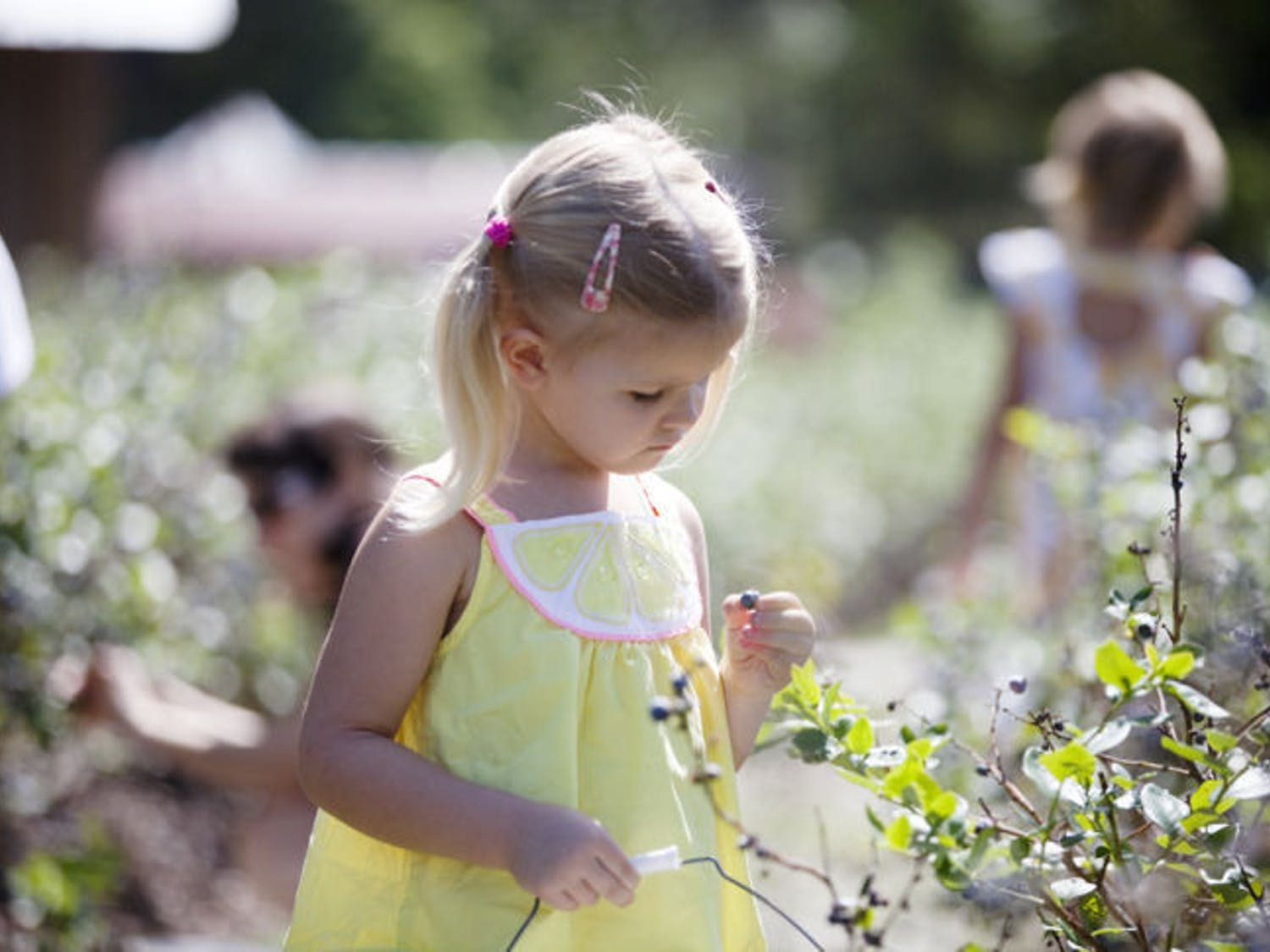 Julia Goodrich, 4, inspects a freshly picked blueberry at the 301 Blueberry Farm during its annual Blueberry Festival Saturday morning. Her mother, Meredith Goodrich, 39, said it's nice to be able to listen to live music while picking blueberries.