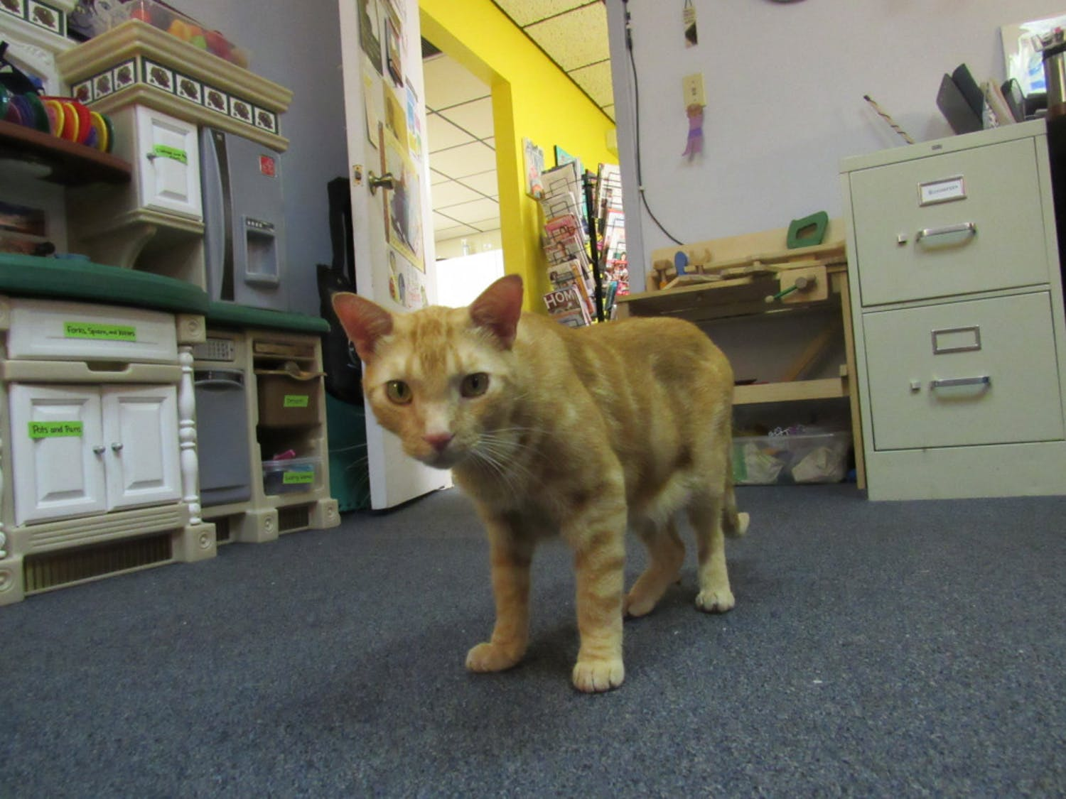 "Hank, the Child Advocacy Center's ""AdvoCat,"" roams the office looking for treats. The orange cat found a home at the Center in June and often plays with kids who visit the office."