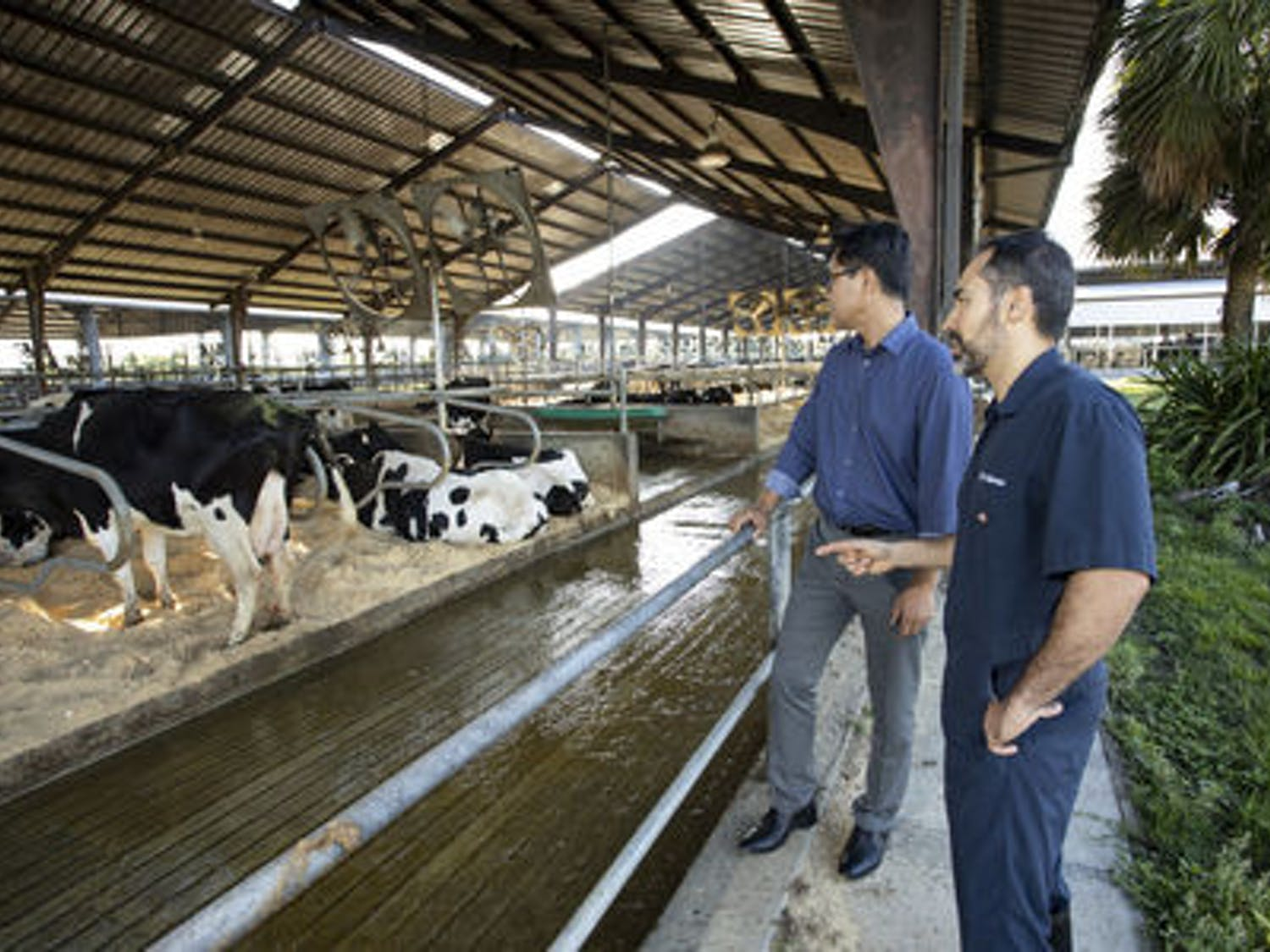 KC Jeong, a UF/IFAS associate professor of animal sciences, and Dr. Klibs Galvao, an associate professor in the UF College of Veterinary Medicine, work to make cow bacteria less resistant to antibiotics. They are funded by a National Institute of Food and Agriculture grant.