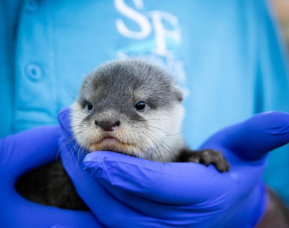 <p>A zookeeper holds a new Asian small-clawed otter pup at the Santa Fe College Teaching Zoo.</p>