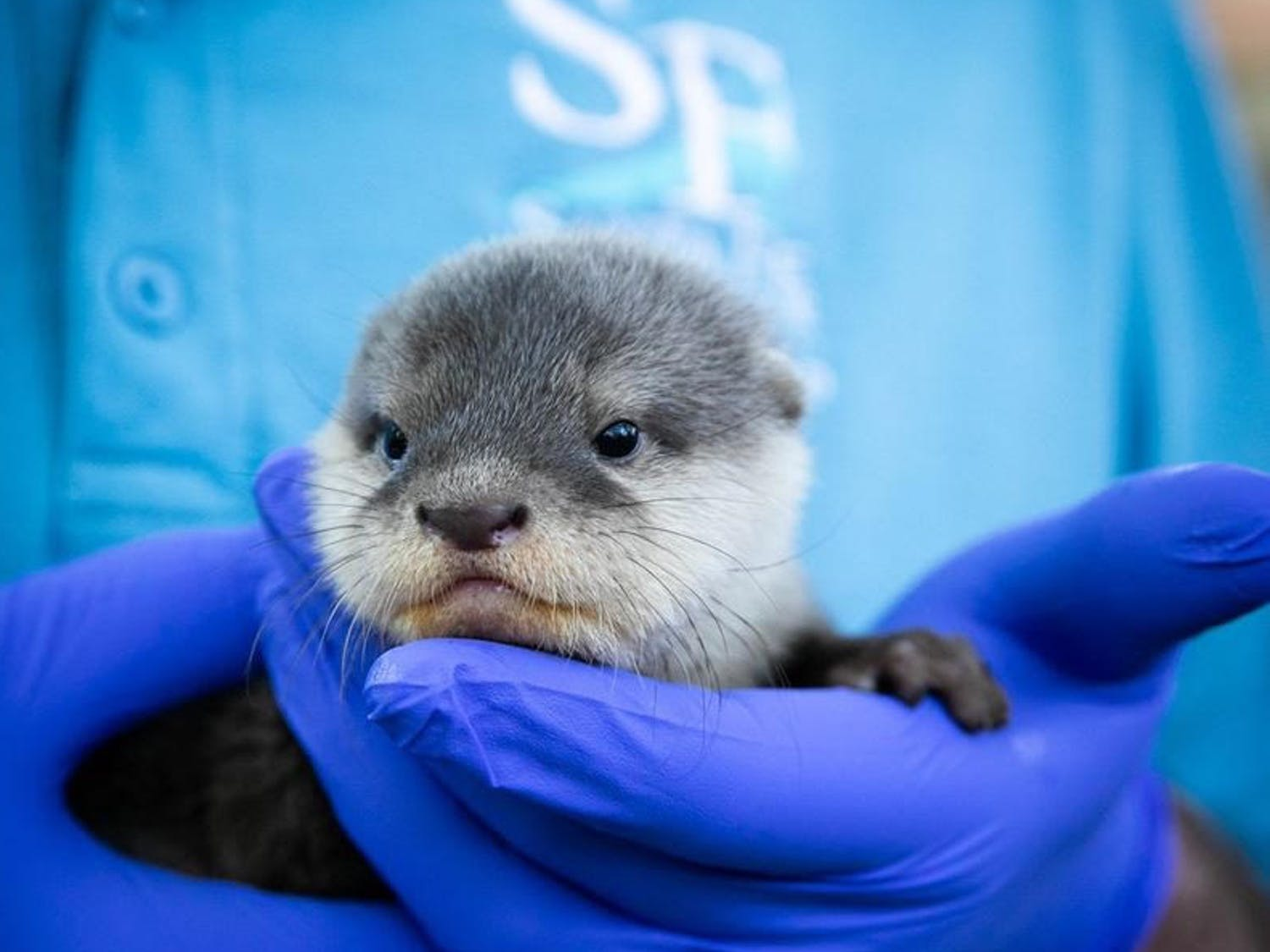 A zookeeper holds a new Asian small-clawed otter pup at the Santa Fe College Teaching Zoo.