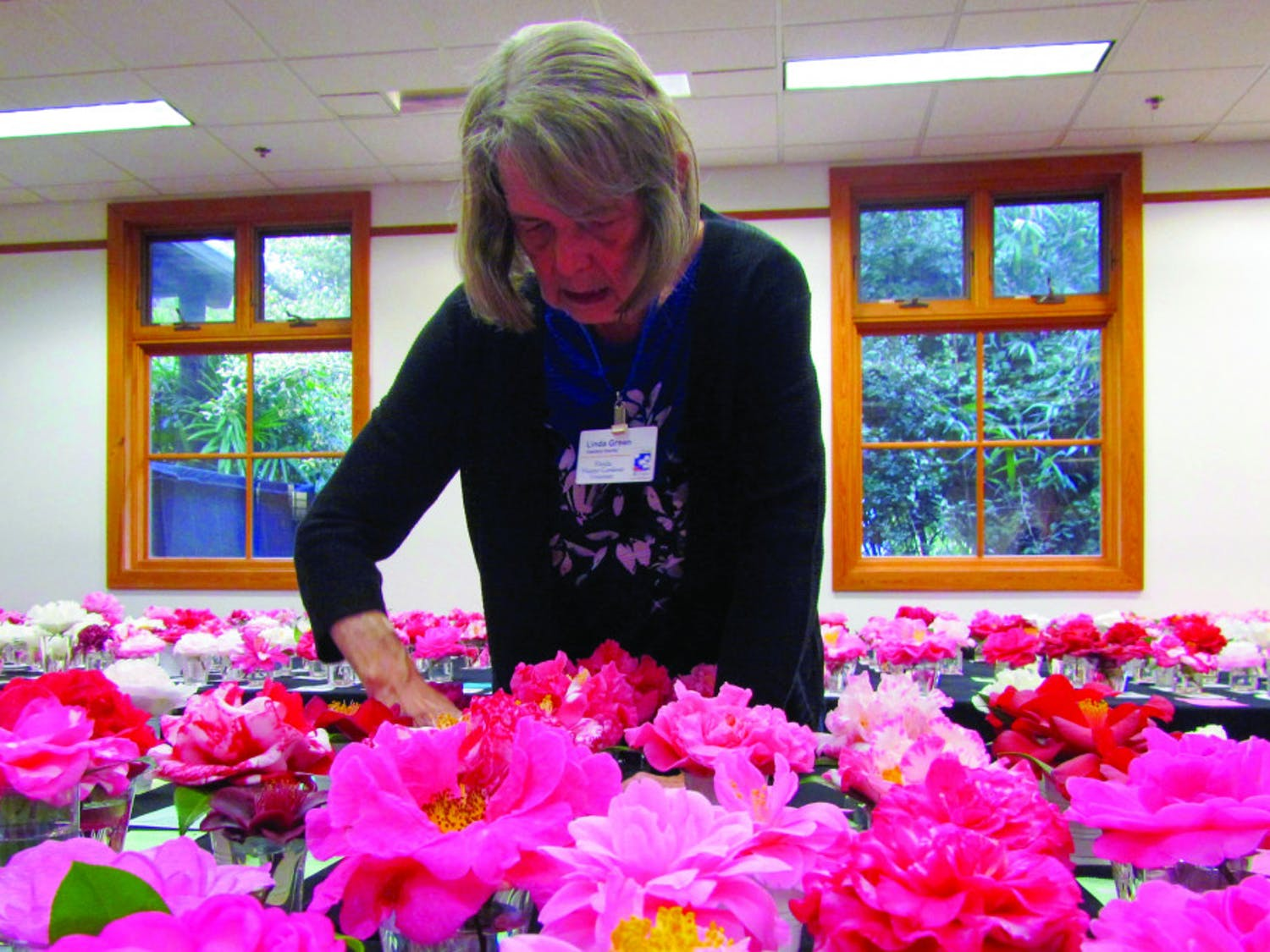 Gainesville Camellia Society member Linda Green helps set up the cards placed by entry flowers. More than 1,000 camellias were entered.