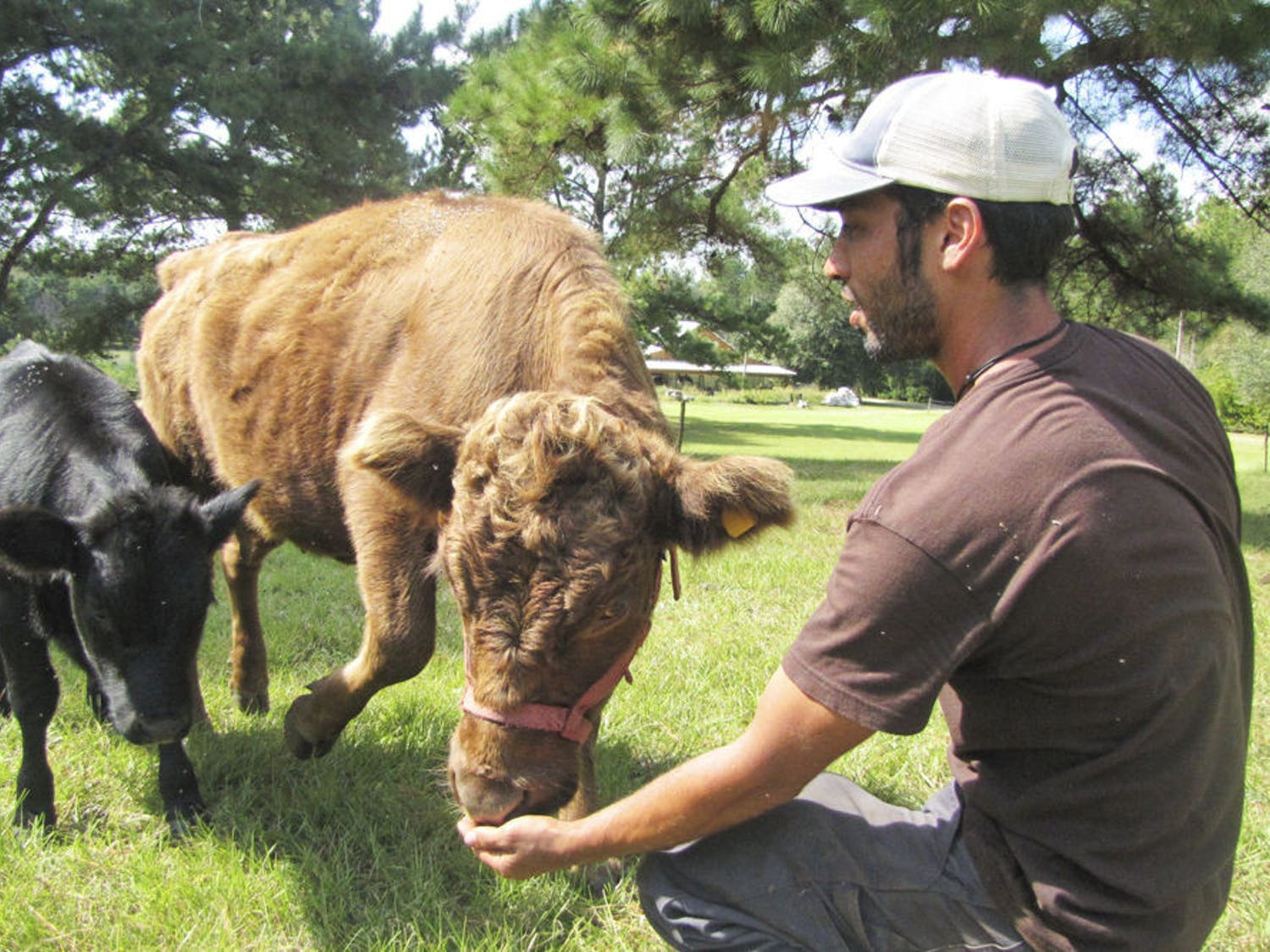 Swallowtail Farms founder Noah Shitama feeds grain to 2-year-old Dexter cow Grainne and her calf, 4-month-old Brie, on Monday. The two will be part of the farm's new creamery set to open in early 2015. See story on page 3.