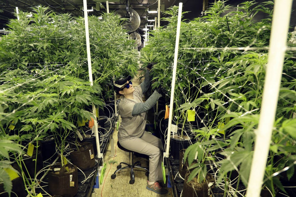 <p>FILE - In this March 22, 2019 file photo, Heather Randazzo, a grow employee at Compassionate Care Foundation's medical marijuana dispensary, trims leaves off marijuana plants in the company's grow house in Egg Harbor Township, N.J. New Jersey legislative leaders unveiled a proposed ballot question Monday, Nov. 18, that would ask voters whether the state should legalize recreational marijuana. (AP Photo/Julio Cortez, File)</p>
