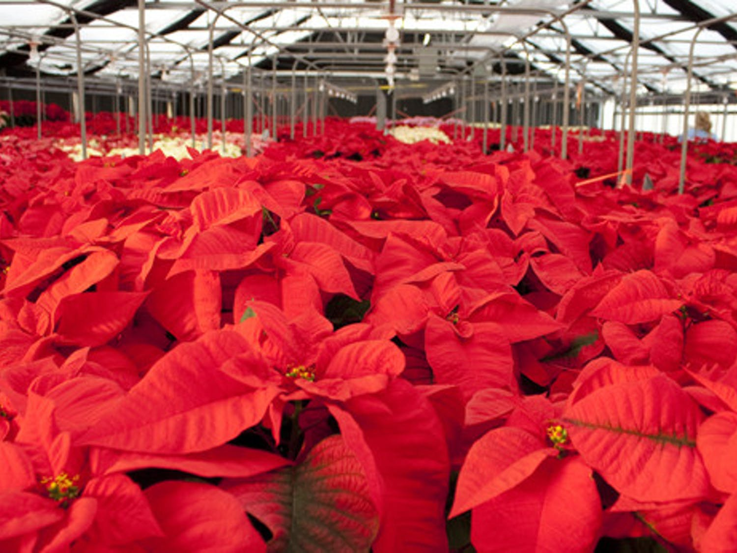 The UF Environmental Horticulture Club is selling poinsettias at the greenhouses behind Fifield Hall on Thursday and Friday. It is the largest poinsettia sale in North America, according to the College of Agricultural and Life Sciences.