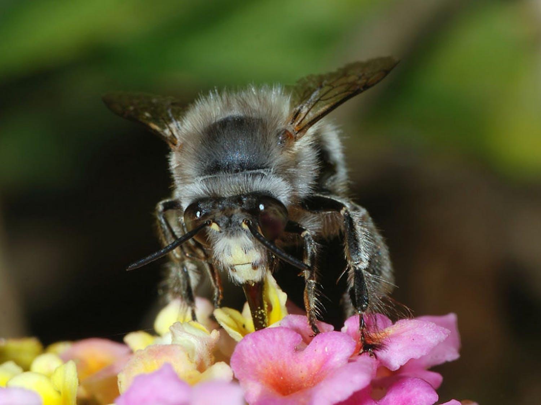 "Anthophora plumipes a close relative toAnthophora abrupta or ""Miner Bees"""