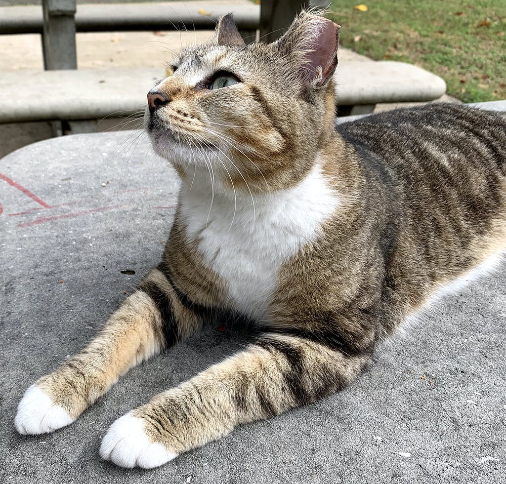 Tenders, one UF's campus cats, gazes upward as she sits on a table in the Tolbert Area.