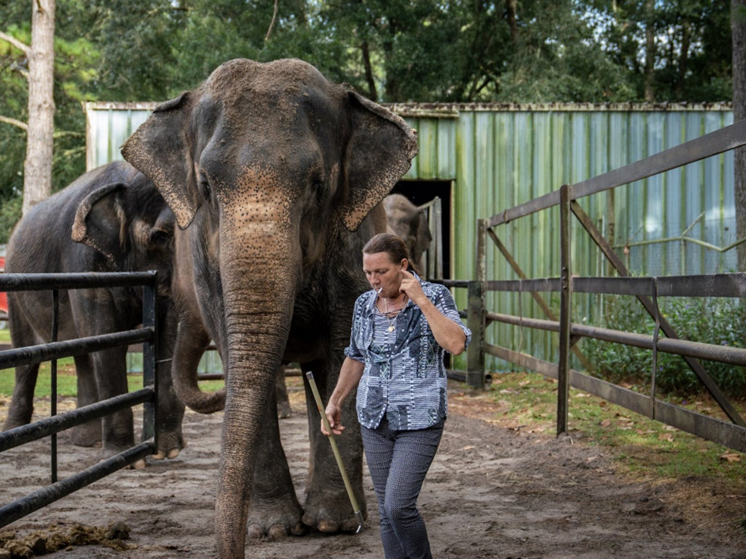 Patricia Zerbini, 54, the proprietor of Two Tails Ranch, guides several of her elephants to a paddock where she then answered questions about the animals. Elephant Appreciation Days were held at the ranch on Saturday and Sunday in order to raise awareness of elephant welfare efforts, as well as fundraising for their care.