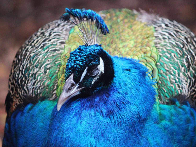 A peacock roams around the Sante Fe College Teaching Zoo on Jan. 29, 2014.