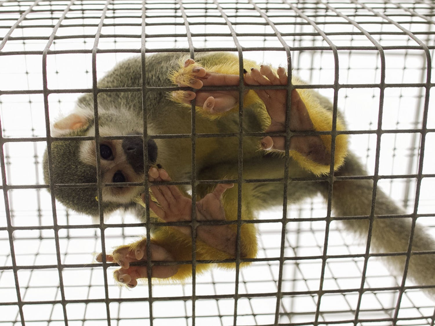 The Alachua County Jungle Friends Primate Sanctuary nonprofit provides a home for New World monkeys retired from lab research or ex-pets.Volunteers are invited to help in the weekly cleanups of the sanctuary.