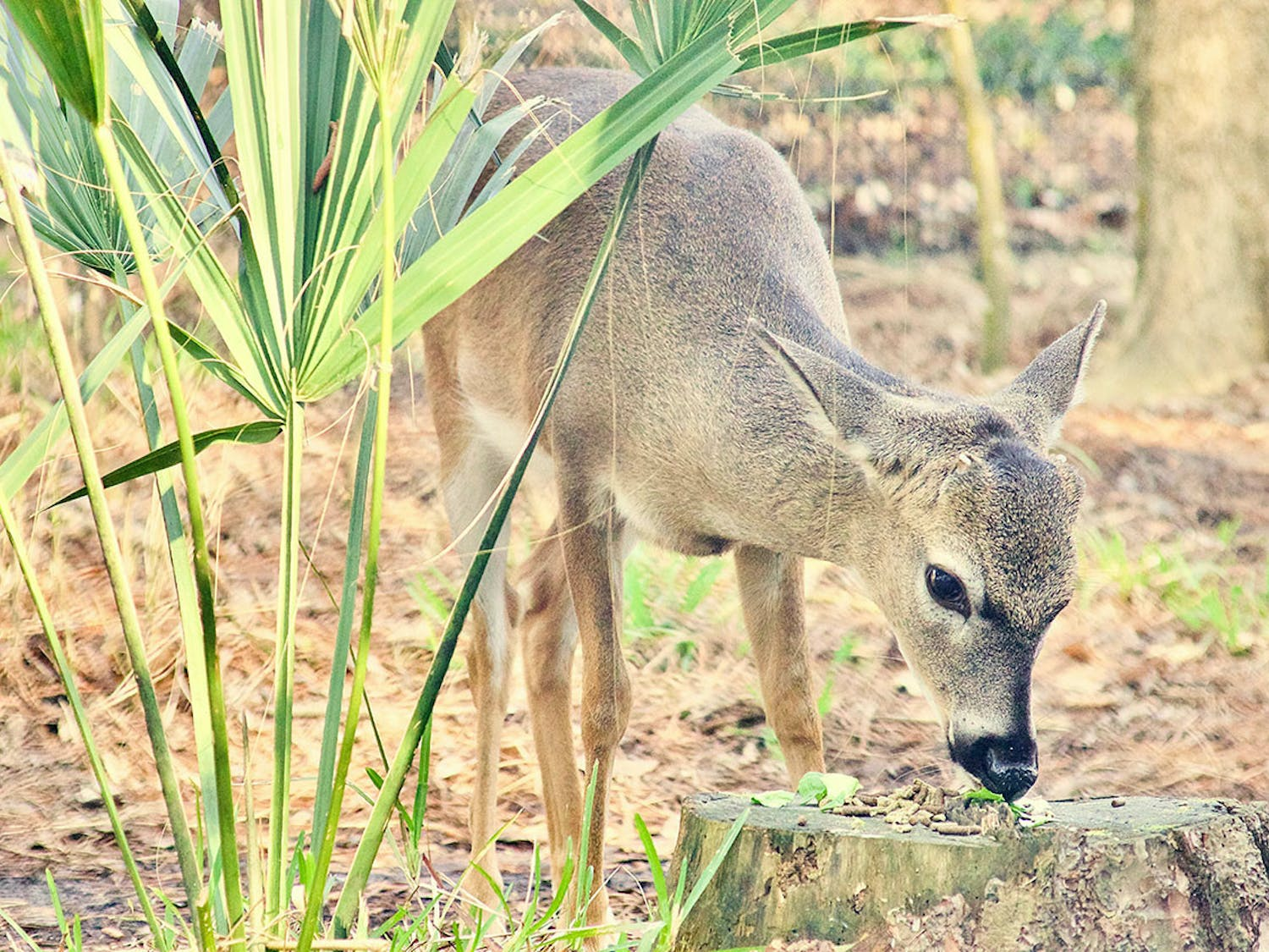 Elliot Blue Monroe, a Key deer, eats his breakfast at the Santa Fe College Teaching Zoo on Feb. 26, 2021. Key Deer Awareness Day is March 11, 2021.(Photo by Antonia LaRocca)