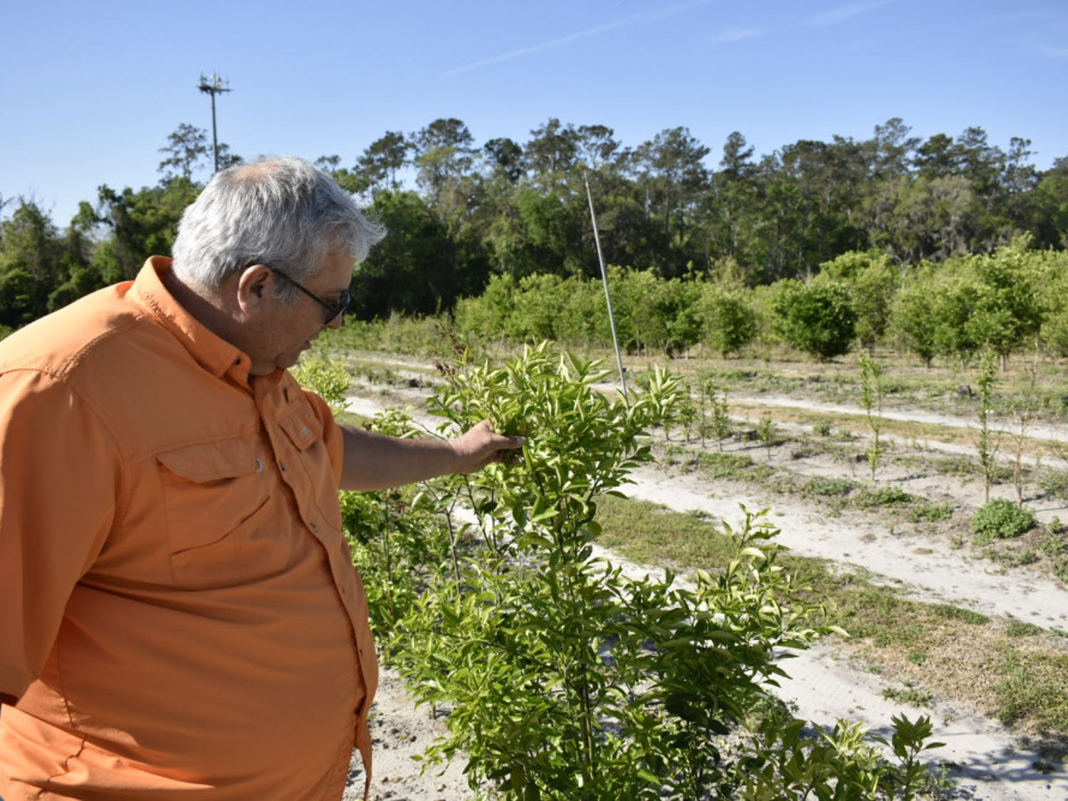 José Chaparro, an associate horticultural sciences professor who's been breeding fruit varieties at UF since 2004, checks on a citrus plant variety bred with genes to make it more freeze-resistant.