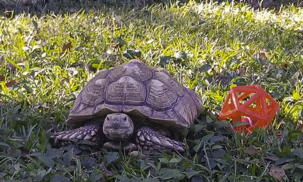 <p>The UF Small Animal Hospital discovered that Nancy, a sulcata tortoise, is allergic to orchardgrass hay.</p>