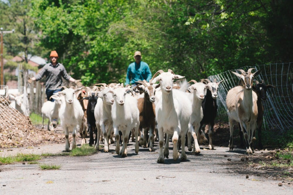 <p>Goats patrol the Gambles Mill Corridor trail. <em>Photo via UR's Office for Sustainability</em></p>