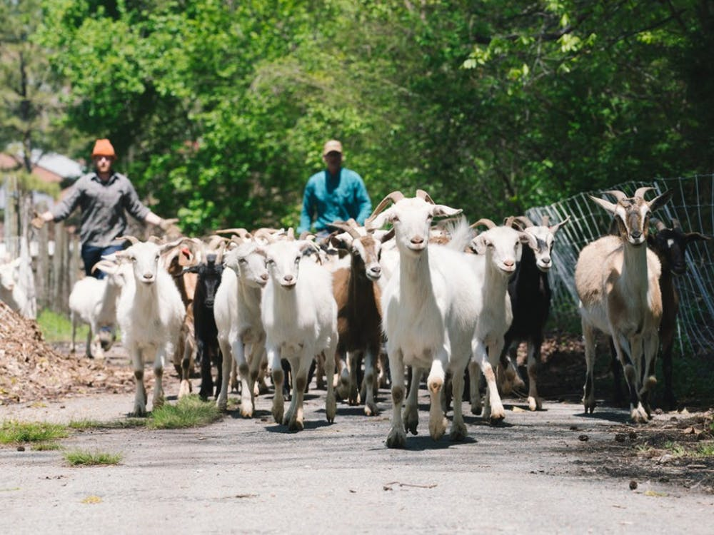 Goats patrol the Gambles Mill Corridor trail. Photo via UR's Office for Sustainability