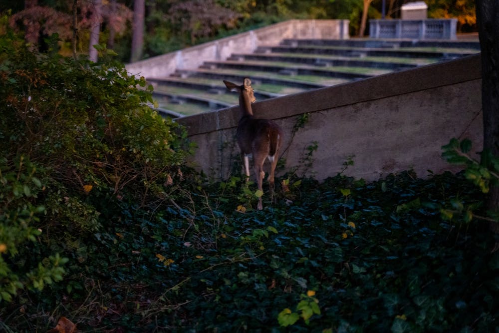 <p>A white tailed deer curiously peaks its head over the side of the Jenkins Greek Theatre on Nov. 2, 2019.</p>