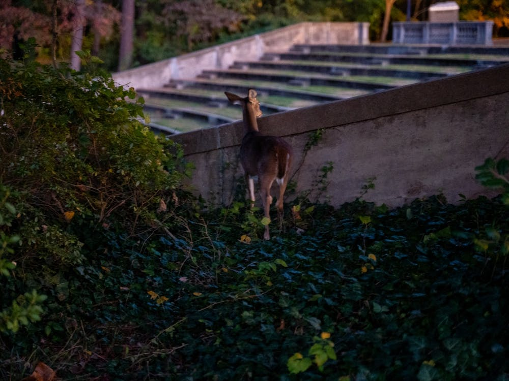 A white tailed deer curiously peaks its head over the side of the Jenkins Greek Theatre on Nov. 2, 2019.