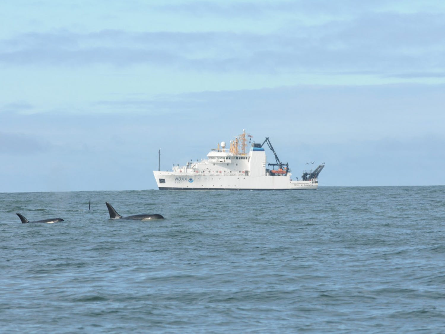 Southern Resident killer whales swim in front of a vessel. Transshipment and the export of crude oil continue to threaten the survival of this endangered species. // Photo courtesy of NOAA Fisheries via Flickr