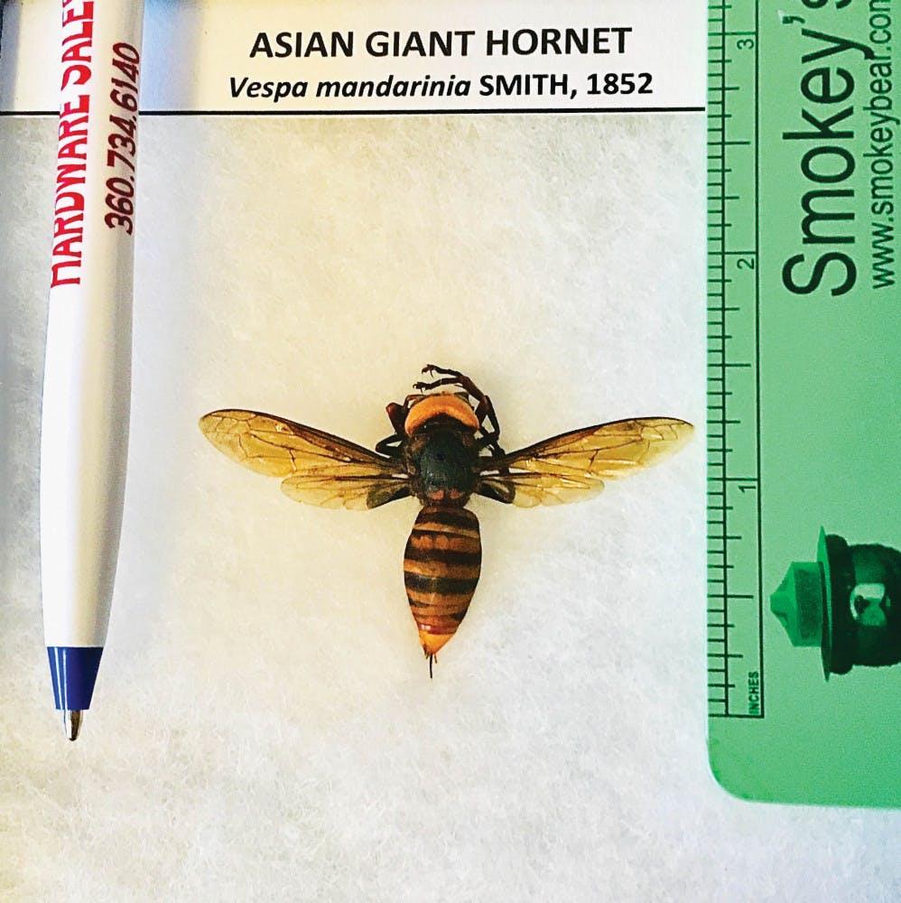 gianthornet